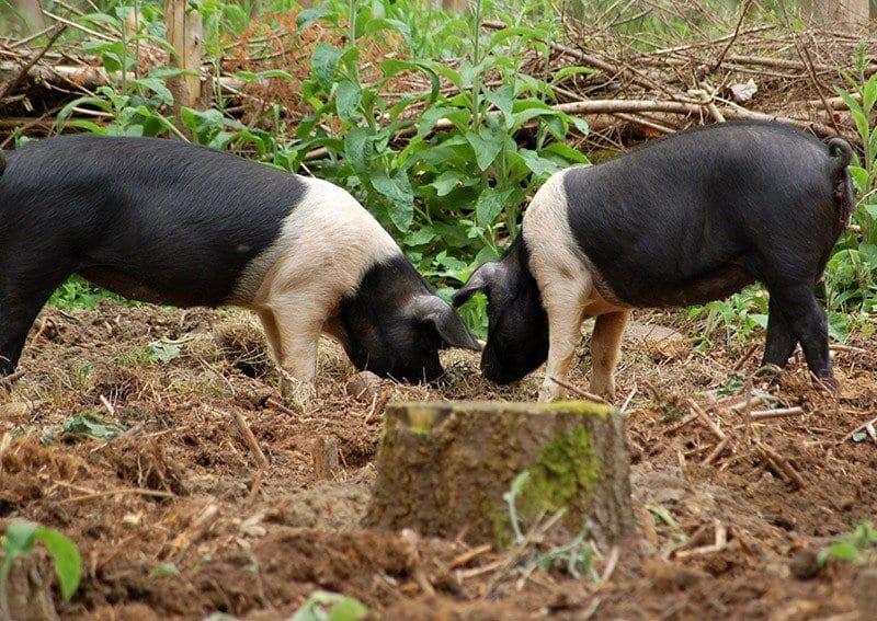 Truffle Pig Bar