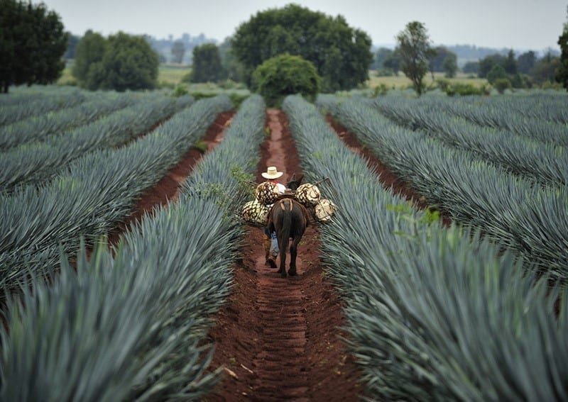 Reise nach Tequila José Cuervo